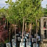 magnolia-dryvche