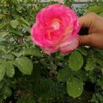 roza-dryvche-shtambova