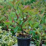 Photinia ser. Red Robin H:30cm